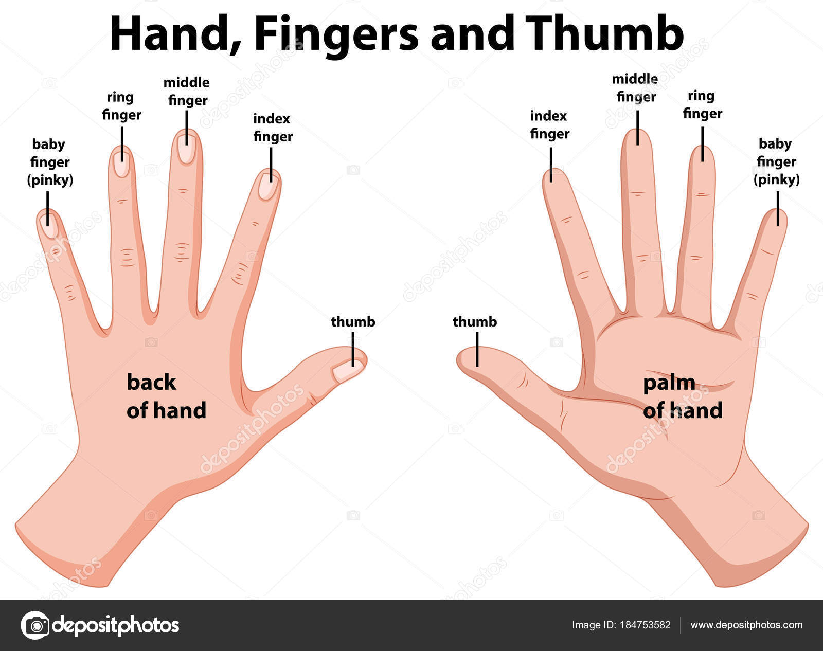 hight resolution of diagram showing human hands stock vector interactimages 184753582 index finger joint diagram index finger diagram
