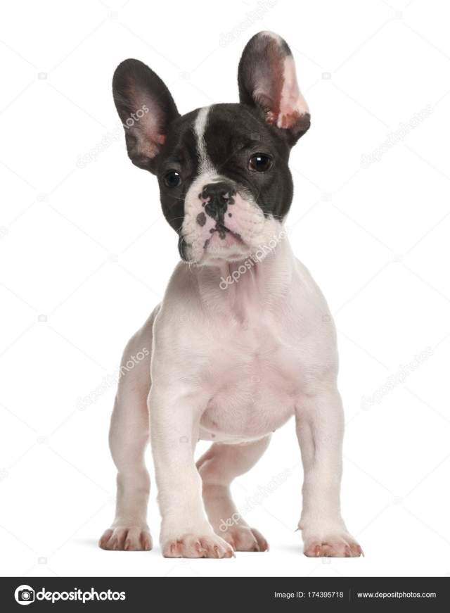 10 Week Old French Bulldog - Bulldog Lover