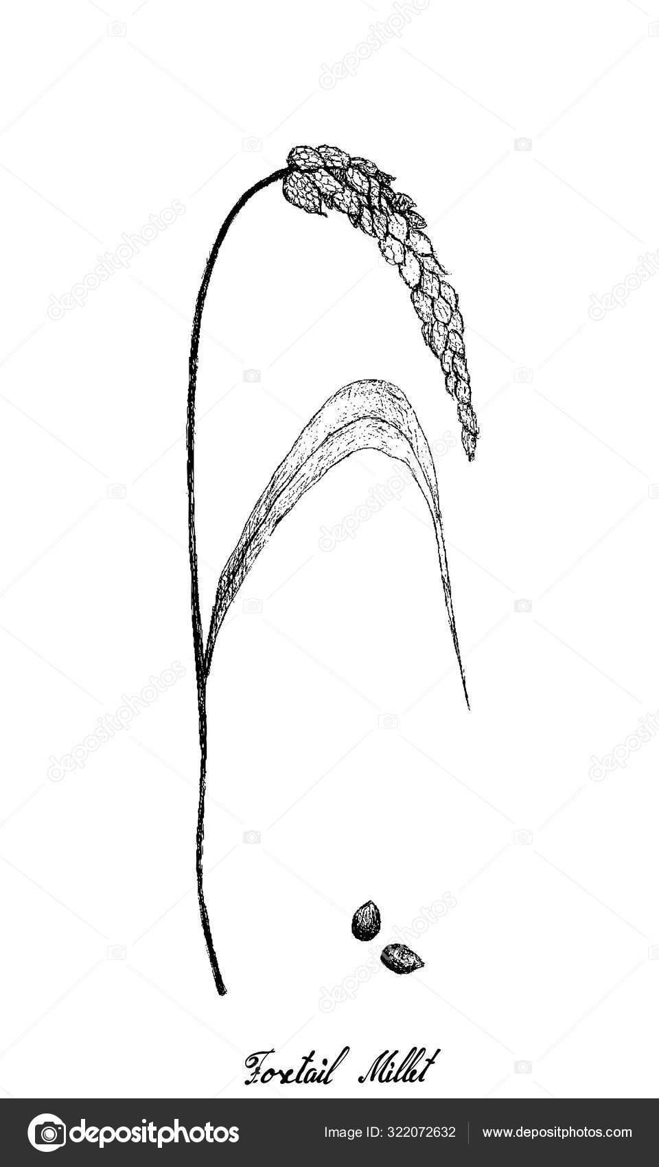 Fox Tail Drawing : drawing, Drawing, Stock, Pictures,, Royalty, Foxtail, Images, Download, Depositphotos®