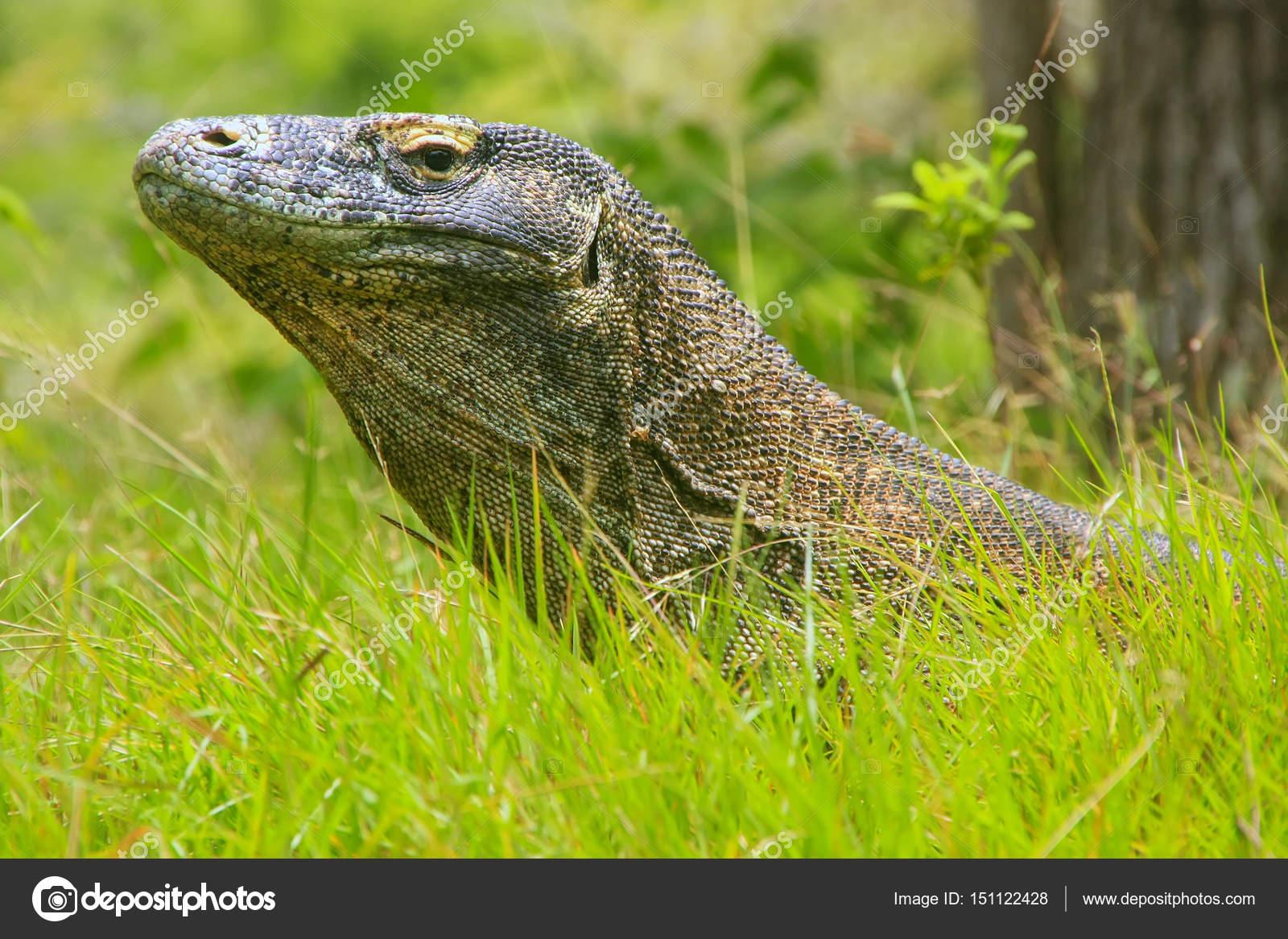 portrait of komodo dragon