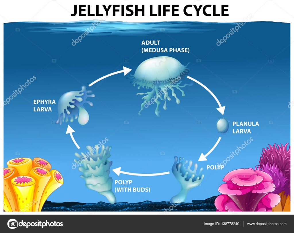 hight resolution of jellyfish life cycle diagram stock vector