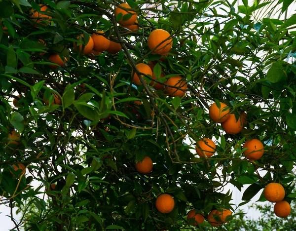 Pe De Laranja Lima Fruto Do Jardim Stock Photo
