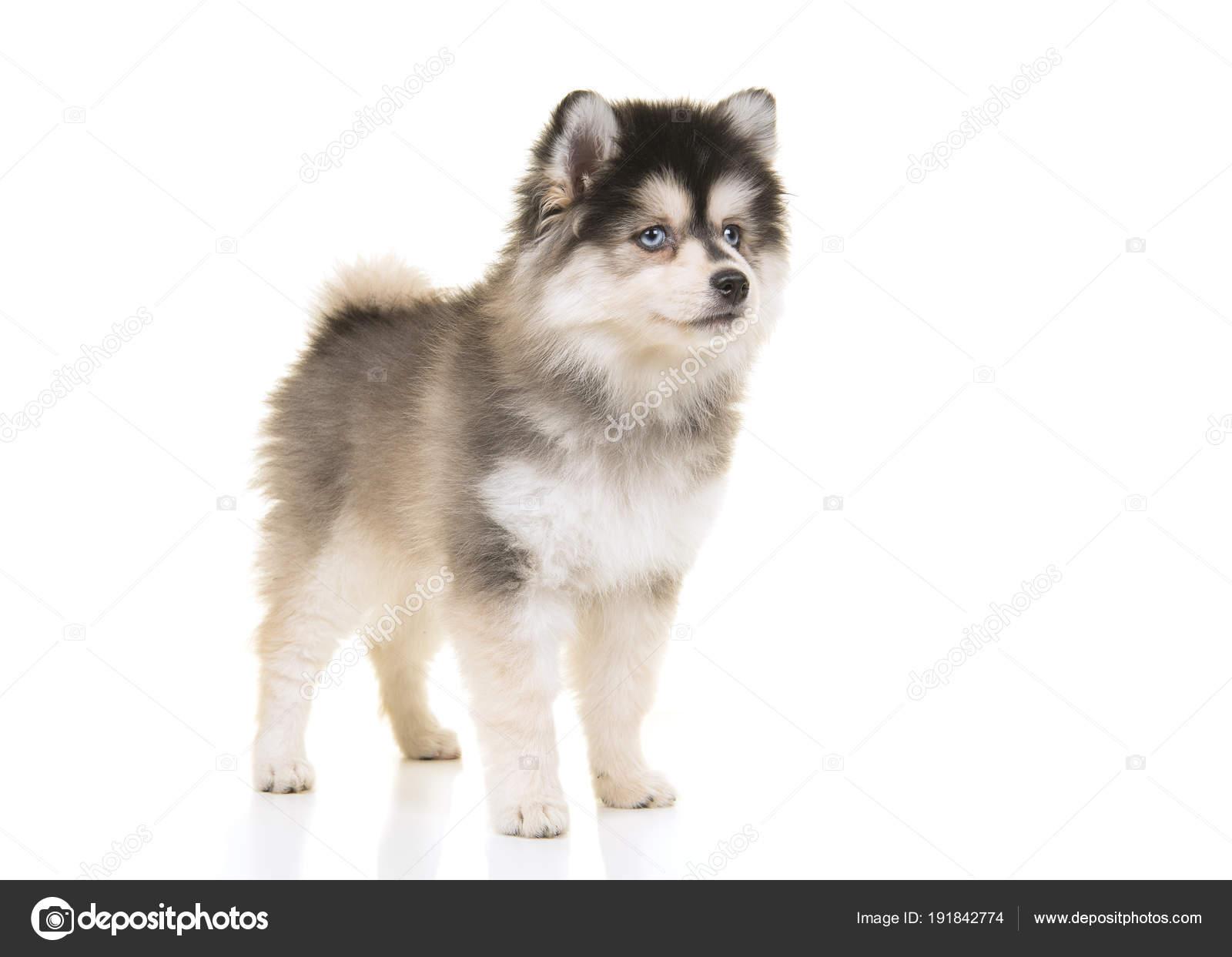 cute pomsky mini husky