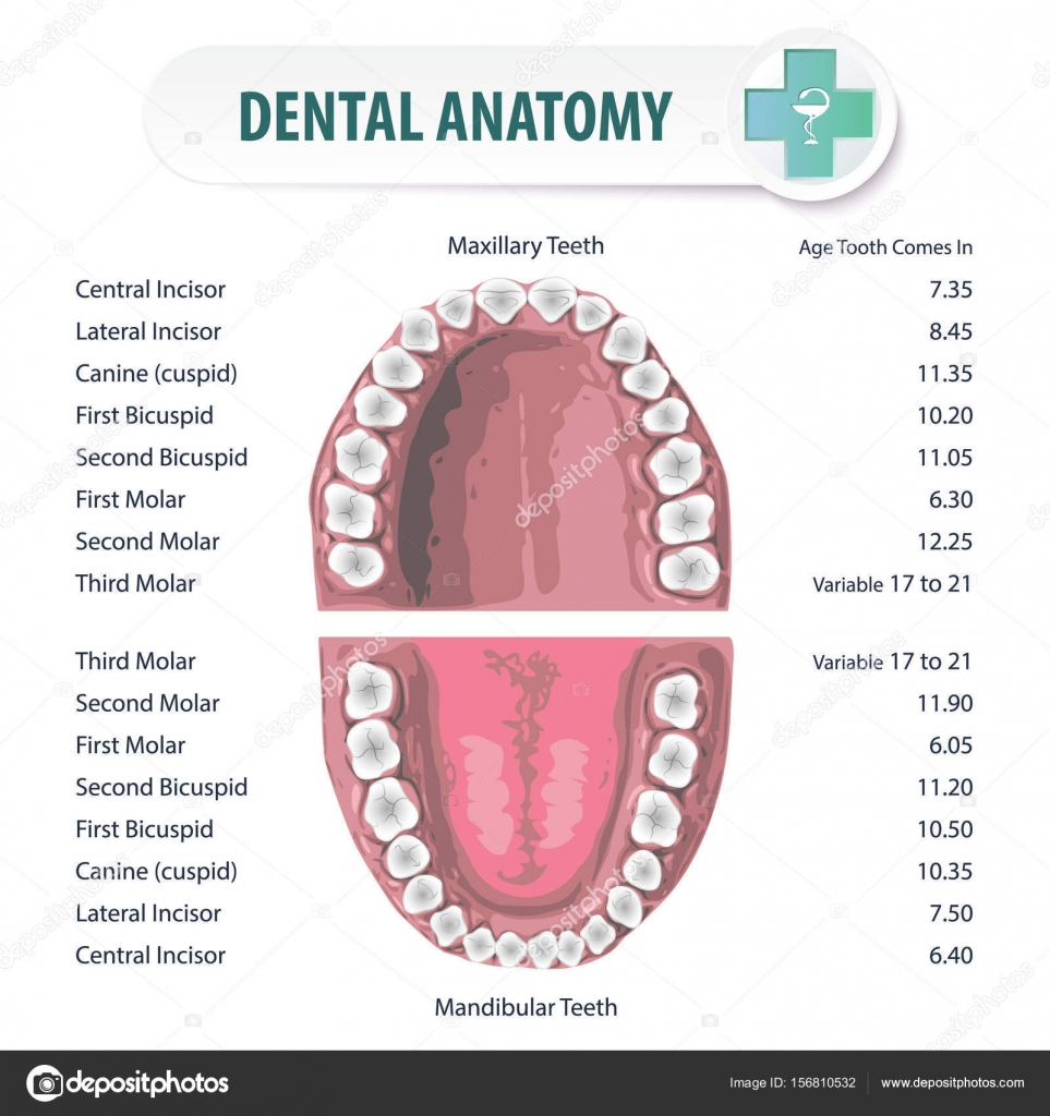 medium resolution of anatomical stomatologic atlas of oral cavity schematic depiction of the location of teeth in humans and their names vector by sergey7777