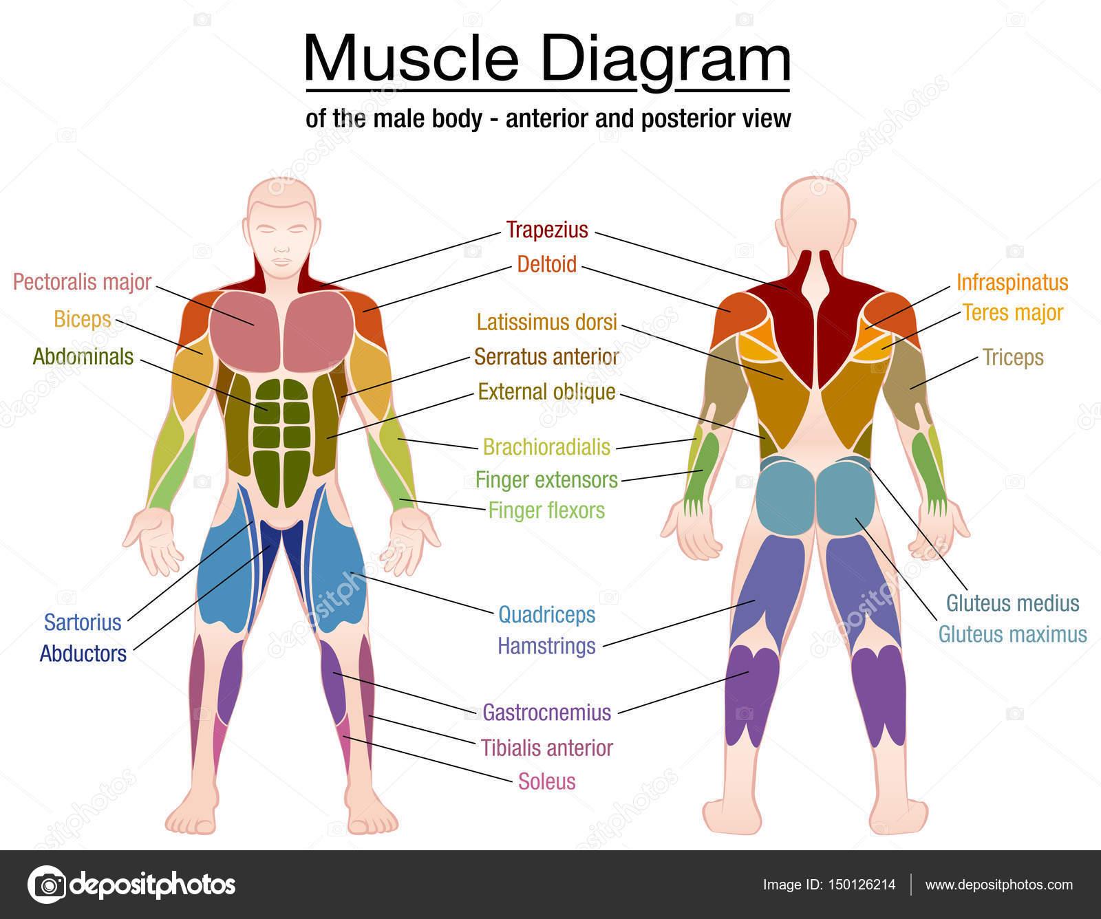 Body Muscle Chart