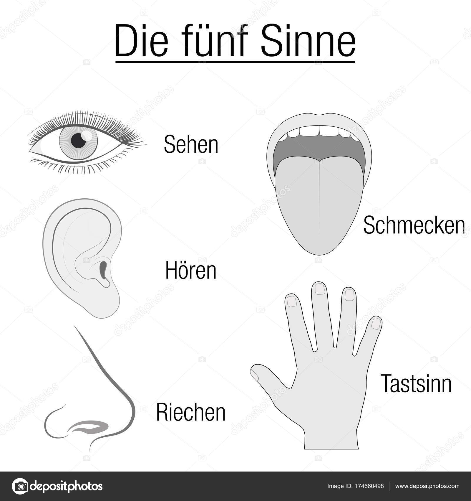 five senses diagram how do you stem and leaf diagrams fünf sinne sinnesorgane deutsche chart  stockvektor