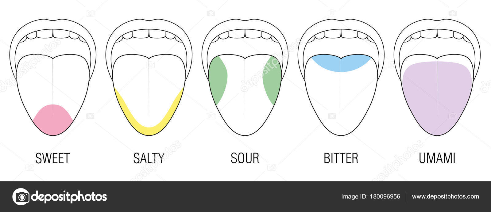human taste buds diagram 2010 f150 xl radio wiring areas tongue colors illustration stock vector c furian with five bitter sour sweet salty and umami perception colored division zones of different educational