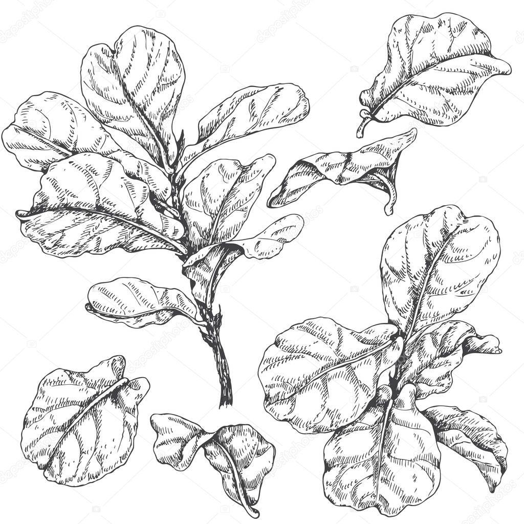 Ficus, ramas y hojas de croquis — Vector de stock © Valiva