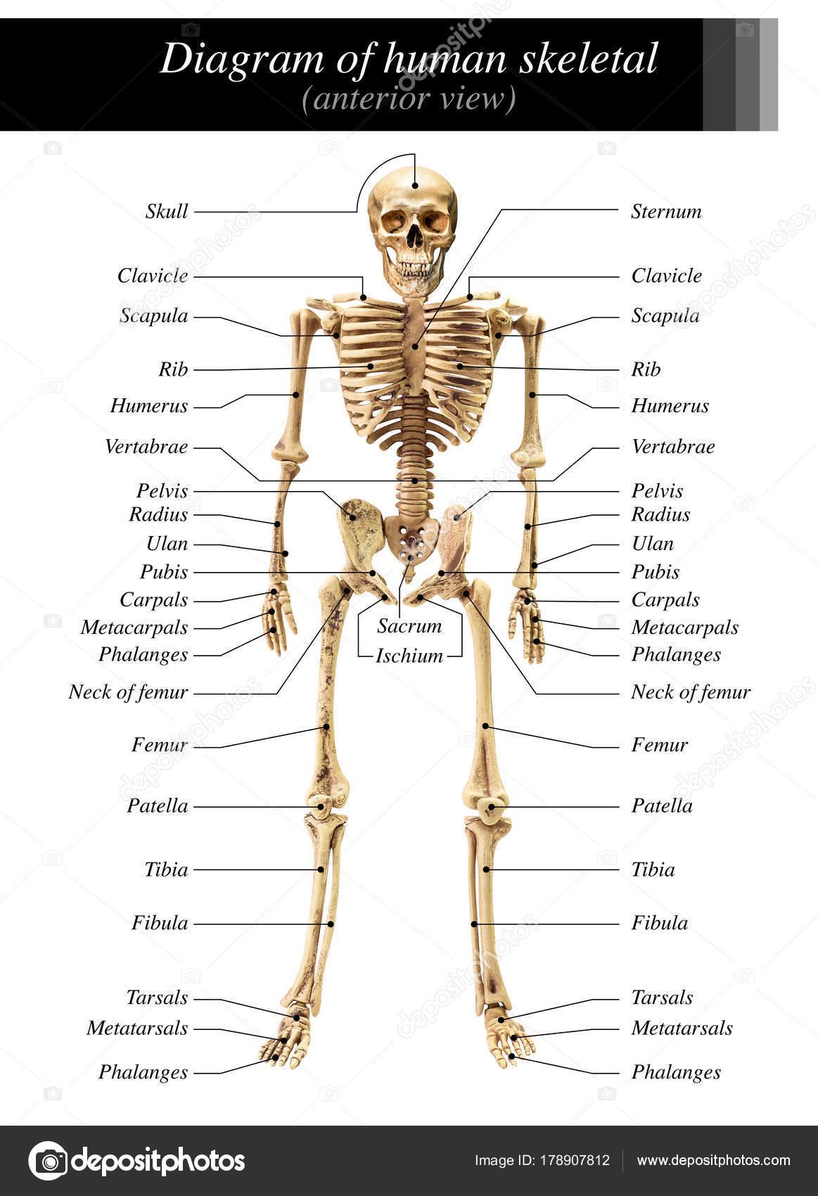 human bone structure diagram wiring for sony xplod cd player skeleton stock photo c fotoslaz 178907812
