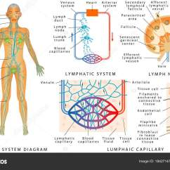 Diagram Nodes Lymphatic System Recon Light Bar Wiring Human Structure Lymph Node Organ Stock Vector