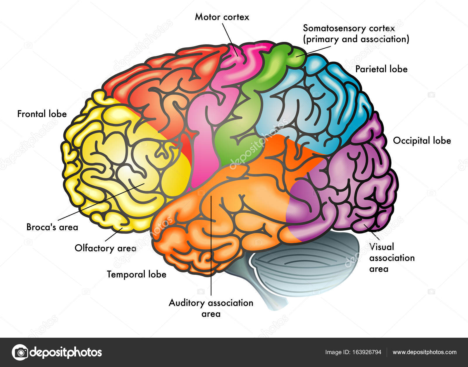 Areas De Ilustracao De Cerebro