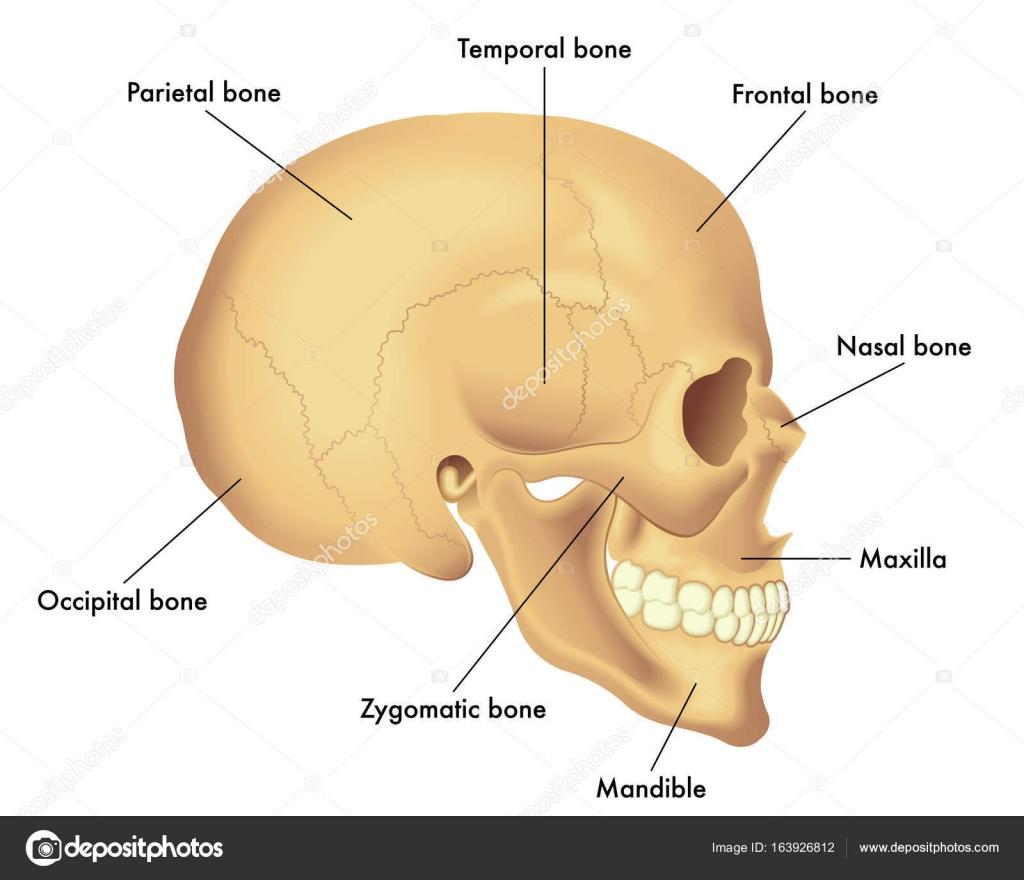 Anatomia Da Base Do Cranio