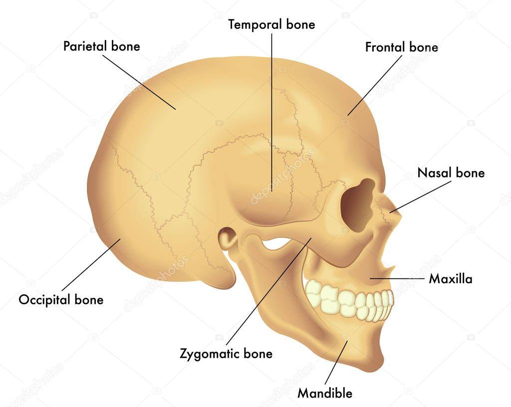 Fundamentele Schedel Anatomie