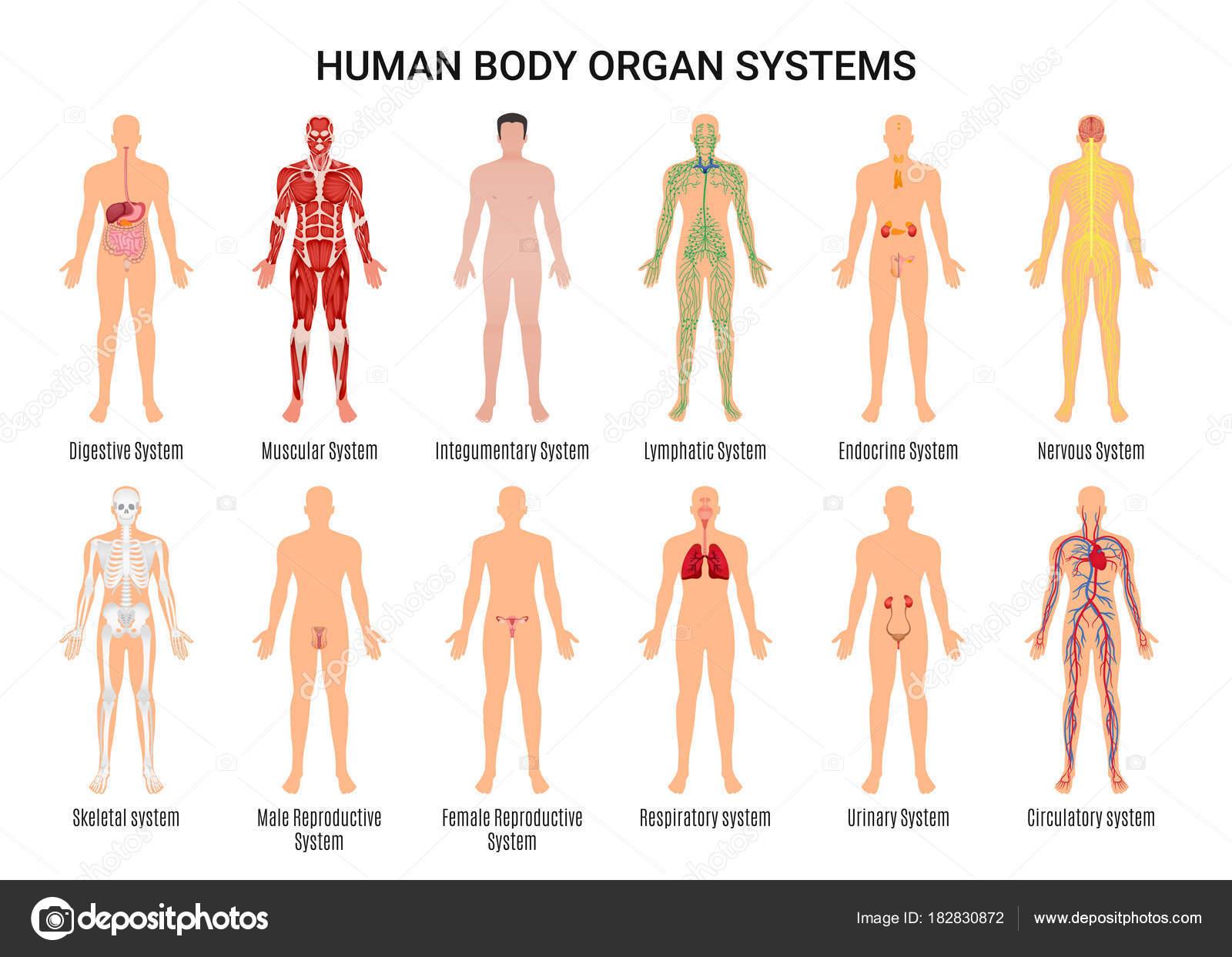 Imagenes Sistema Del Cuerpo Humano