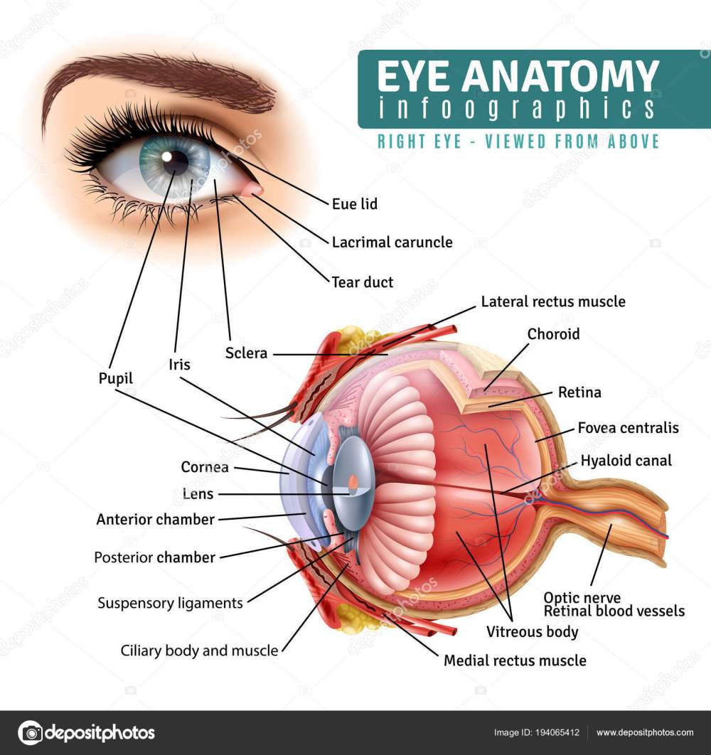 medium resolution of human eye anatomy infographics with outside view and organ inside structure on white background realistic vector illustration vector by macrovector