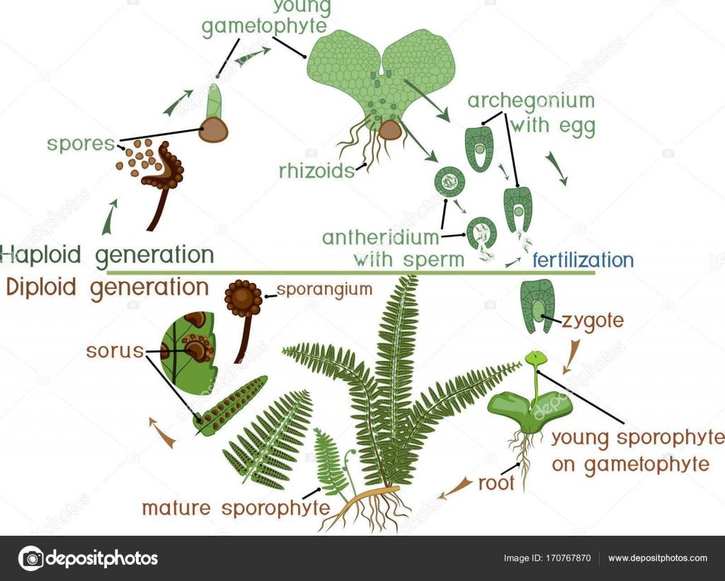 Ciclo De Vida Da Samambaia Planta De Ciclo De Vida Com