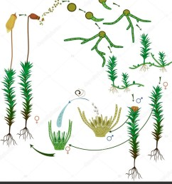 moss life cycle diagram life cycle common haircap moss polytrichum stock vector [ 871 x 1024 Pixel ]