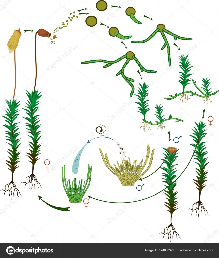 hight resolution of moss life cycle diagram life cycle common haircap moss polytrichum stock vector