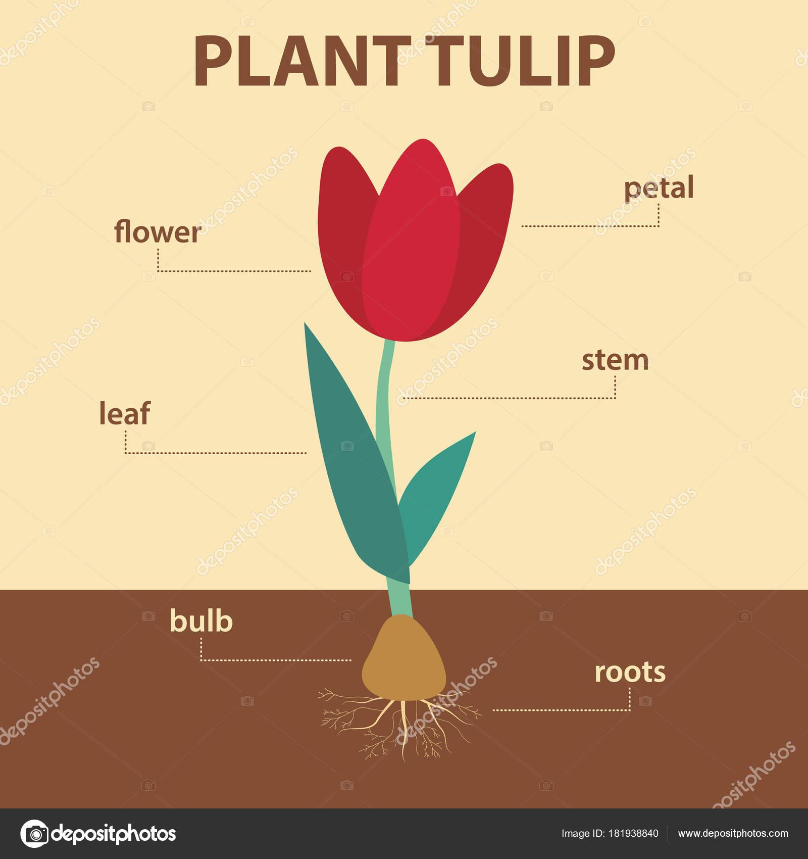 Picture Parts Of A Tulip Diagram