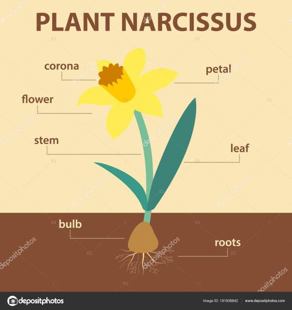 Vector Diagram Showing Parts Of Narcissus Plant