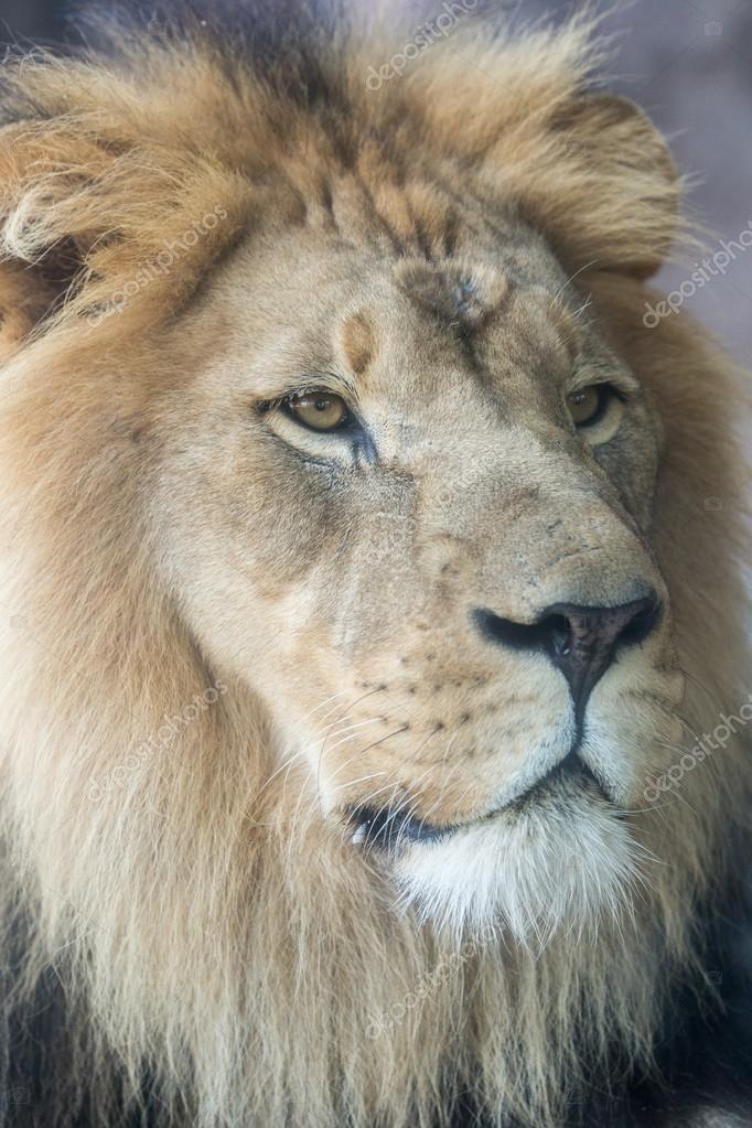 images lion face side