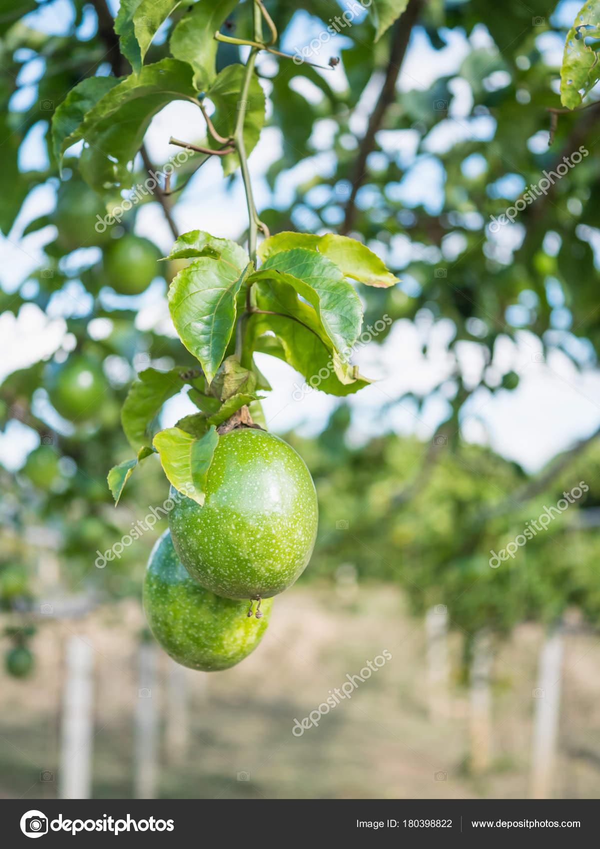 Arbre Fruit De La Passion : arbre, fruit, passion, Passion, Fruit, Stock, Photo,, Image, Jpkirakun, #180398822
