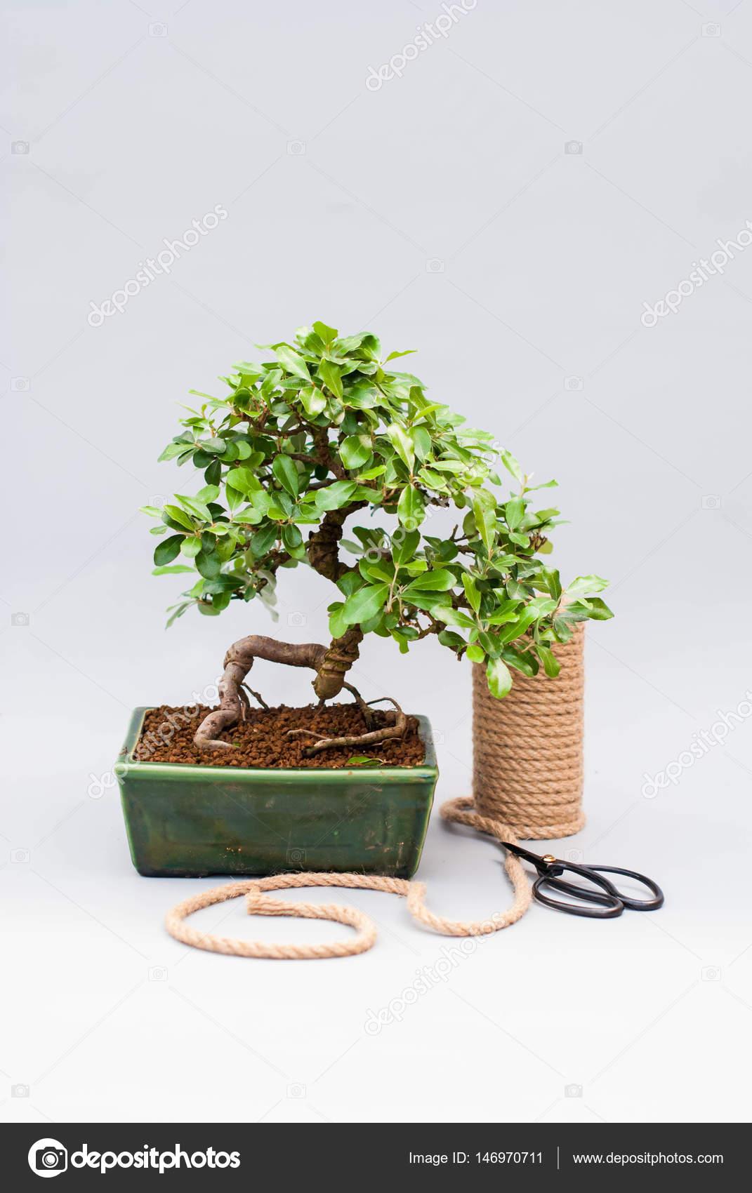 Bonsai Voor Binnen.Binnen Bomen