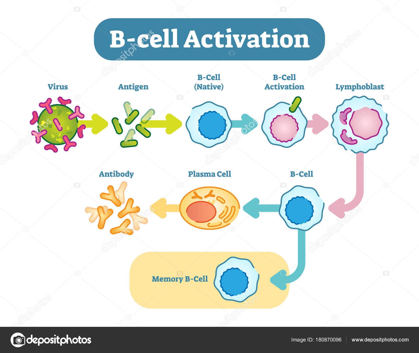 B Cell Activation Diagram Vector Scheme Illustration