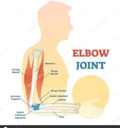 elbow joint vector illustrated diagram medical scheme stock vector [ 1473 x 1700 Pixel ]
