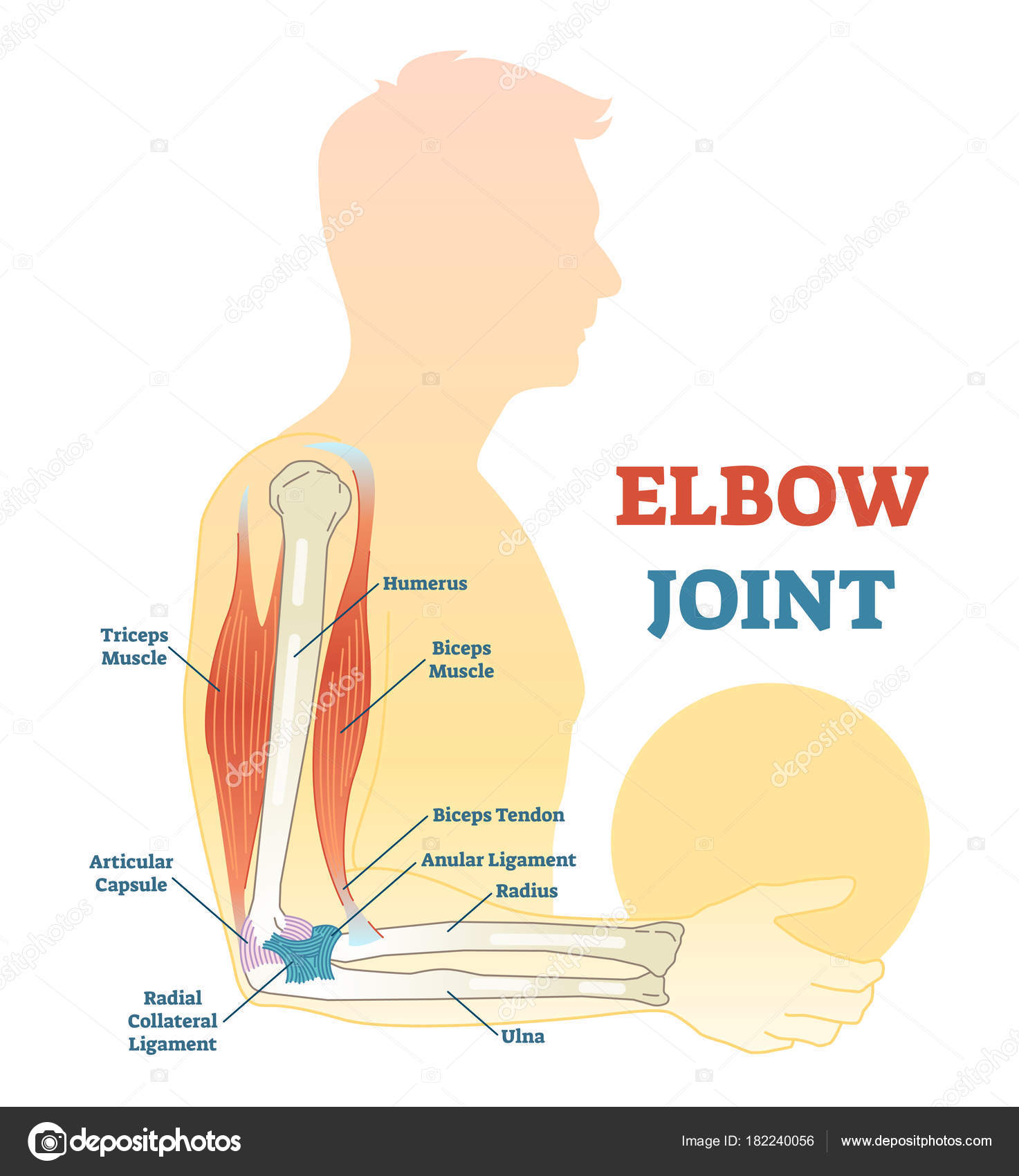 hight resolution of elbow joint vector illustrated diagram medical scheme stock vector