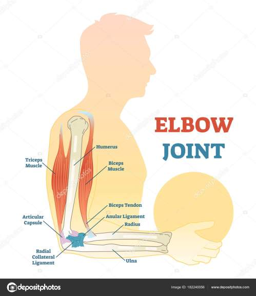 small resolution of elbow joint vector illustrated diagram medical scheme stock vector
