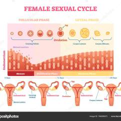 Menstrual Cycle Diagram With Ovulation 7 Pin Flat Trailer Socket Wiring Female Sexual Vector Illustration Graphic Menstruation And Chart Uterus