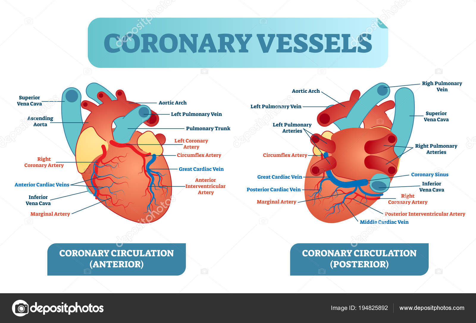 hight resolution of coronary vessels anatomical health care vector illustration labeled diagram heart blood flow system with blood vessel scheme medical information poster