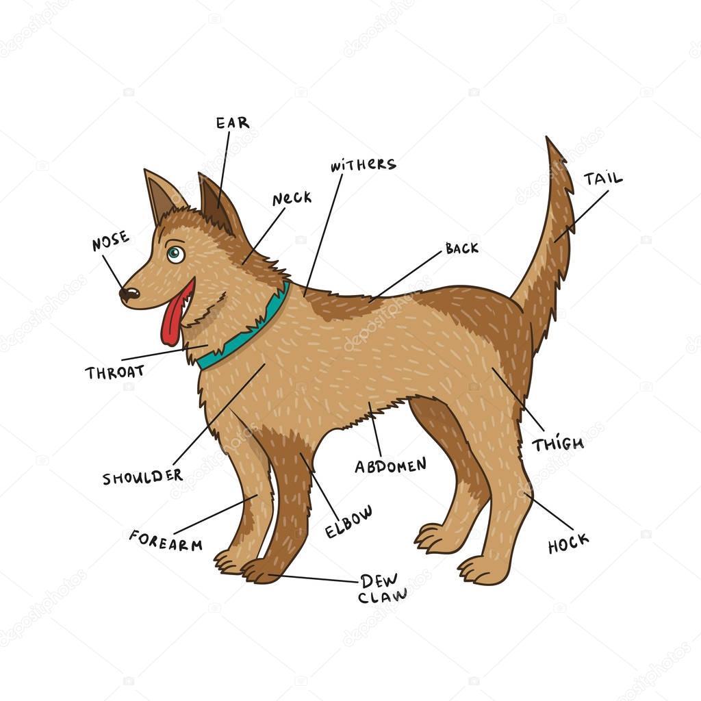 Imagenes Anatomia Interna De Un Perro