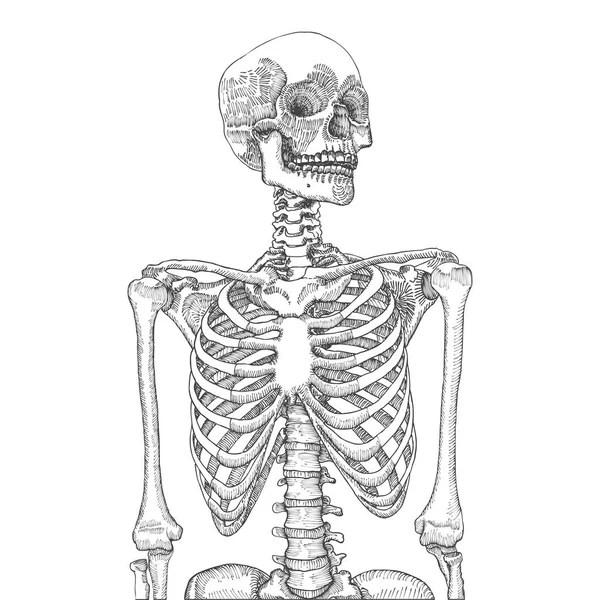 diagram of skeletal ribs loncin 50cc quad wiring ribcage stock vectors royalty free illustrations human with skull sketch vector