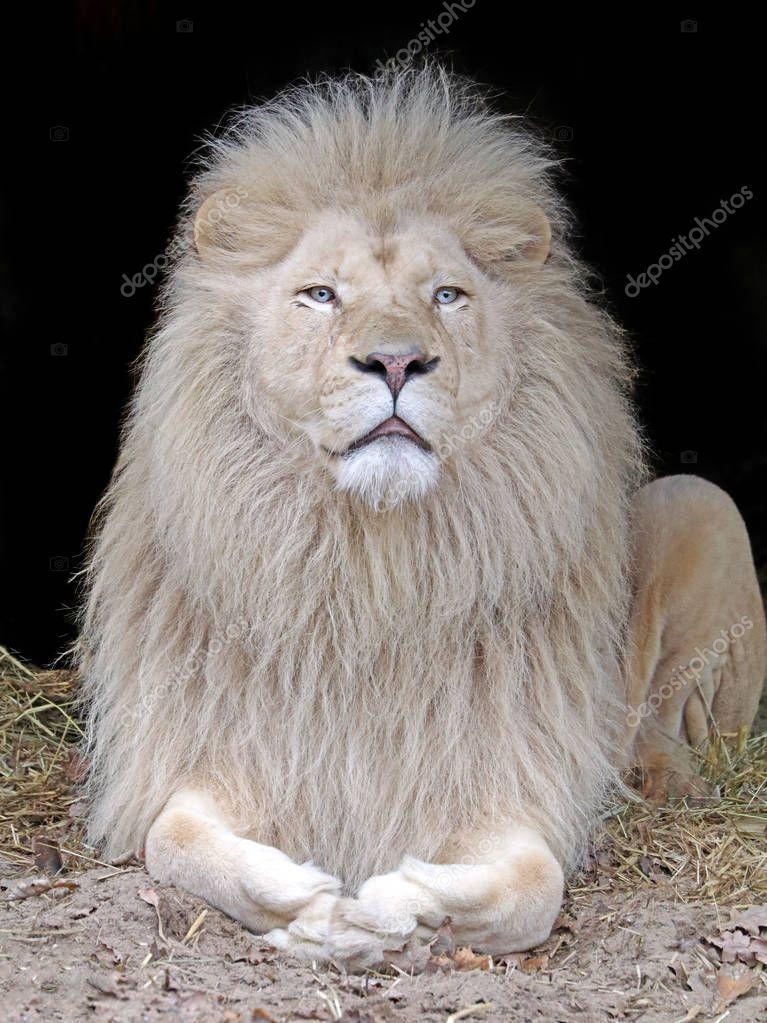 Tiger Animal Wallpaper Beau Lion Blanc Photographie Ebfoto 169 132730522