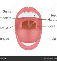 anatomy of human mouth illustration about body detail vector by solar22 [ 1024 x 798 Pixel ]