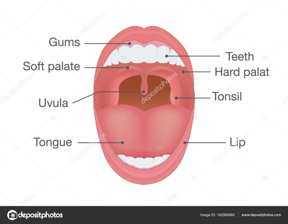 medium resolution of anatomy of human mouth illustration about body detail vector by solar22