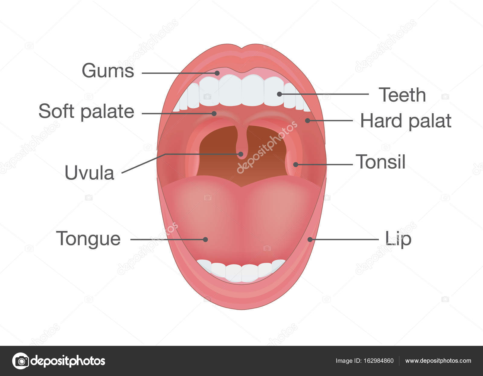 hight resolution of anatomy of human mouth illustration about body detail vector by solar22