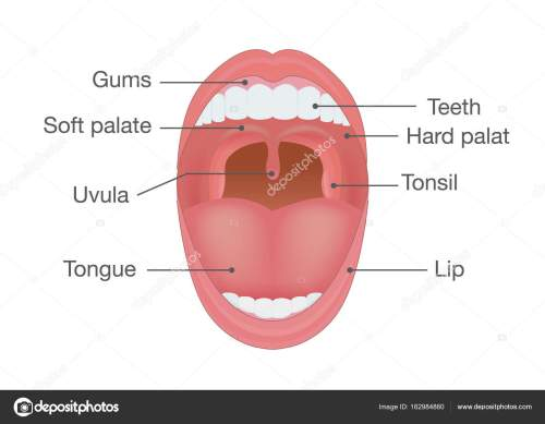 small resolution of anatomy of human mouth illustration about body detail vector by solar22