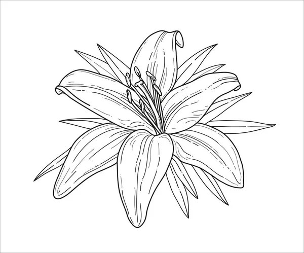 Lily bloem zwart-wit tekening voor Coloring boek