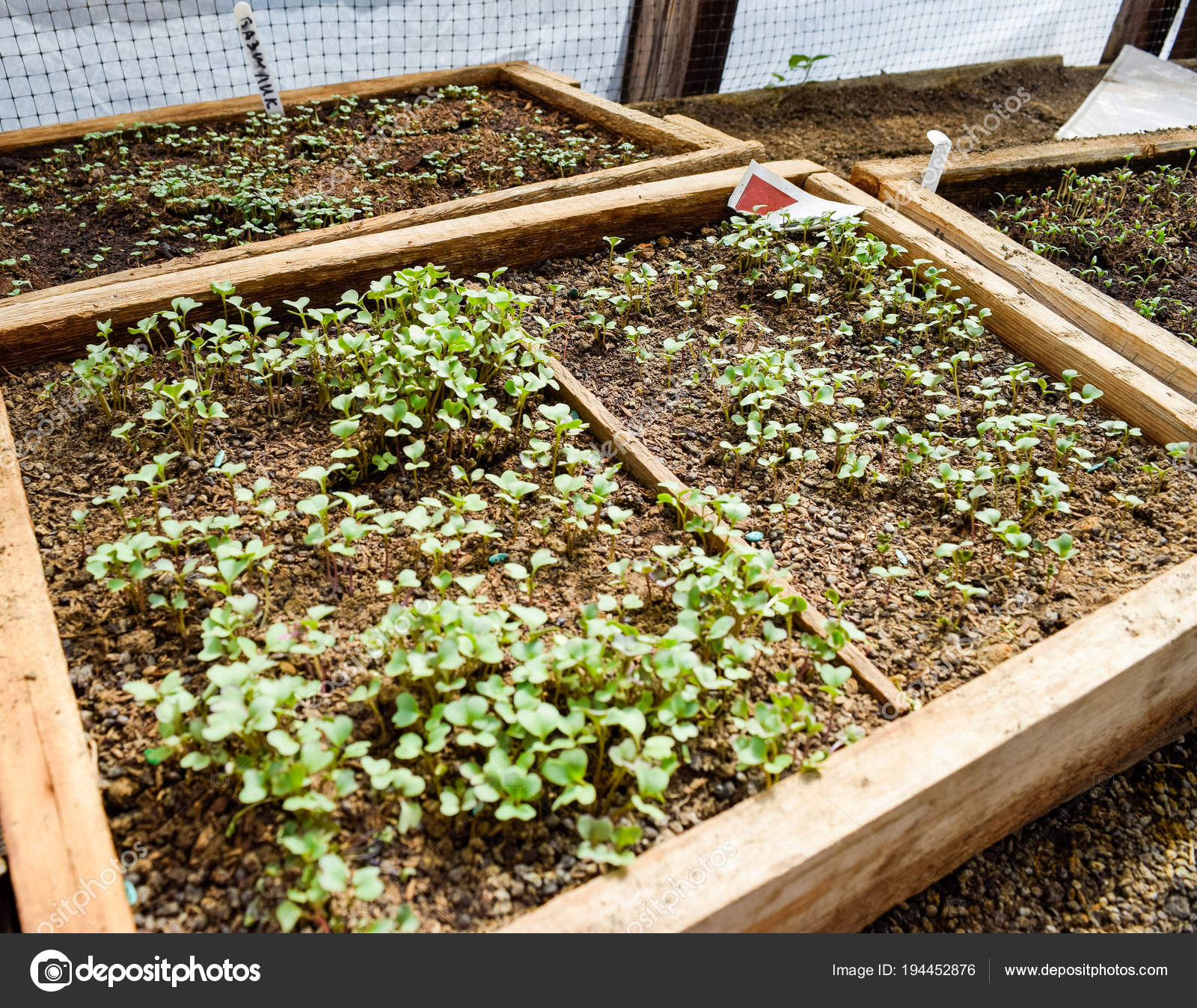 seedlings of cabbage cultivation