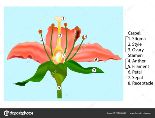 small resolution of vector flower parts diagram stem cross section anatomy of plant flower cross section diagram flower cross section diagram
