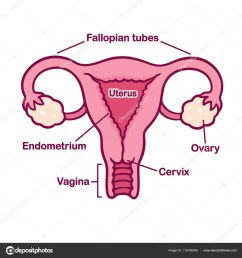 hand drawn female reproductory system anatomy chart uterus and cervix ovaries and fallopian tubes in simple cartoon style captions on separate layer  [ 963 x 1024 Pixel ]