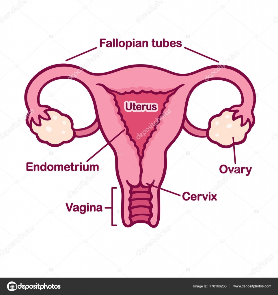 hight resolution of hand drawn female reproductory system anatomy chart uterus and cervix ovaries and fallopian tubes in simple cartoon style captions on separate layer