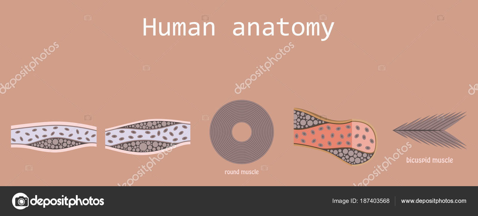 hight resolution of types of muscle tissue of human body diagram including cardiac skeletal smooth with example of heart