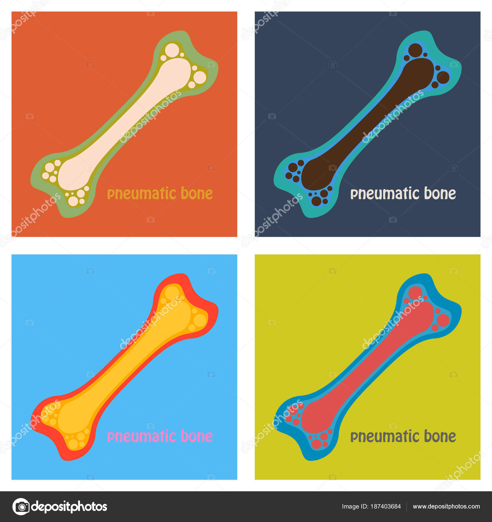 hight resolution of set of flat anatomy of the long bone periosteum endosteum bone marrow and