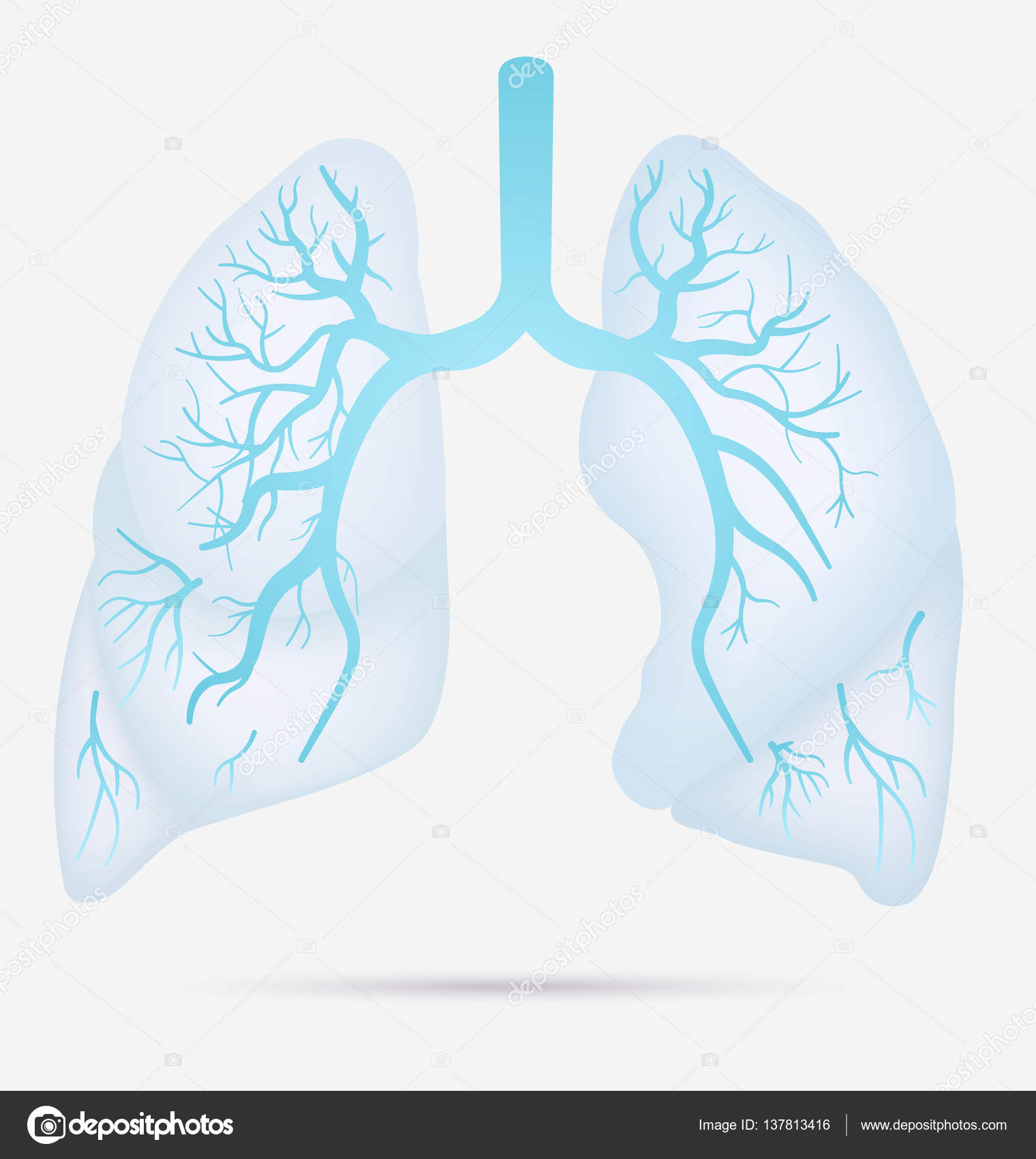 hight resolution of human lungs anatomy for asthma tuberculosis pneumonia lung cancer diagram in detail illustration