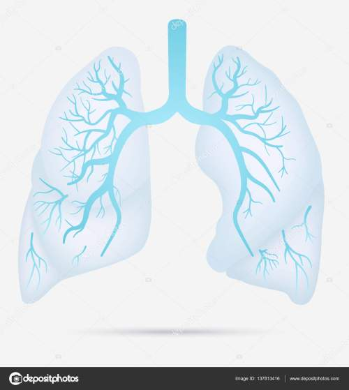 small resolution of human lungs anatomy for asthma tuberculosis pneumonia lung cancer diagram in detail illustration