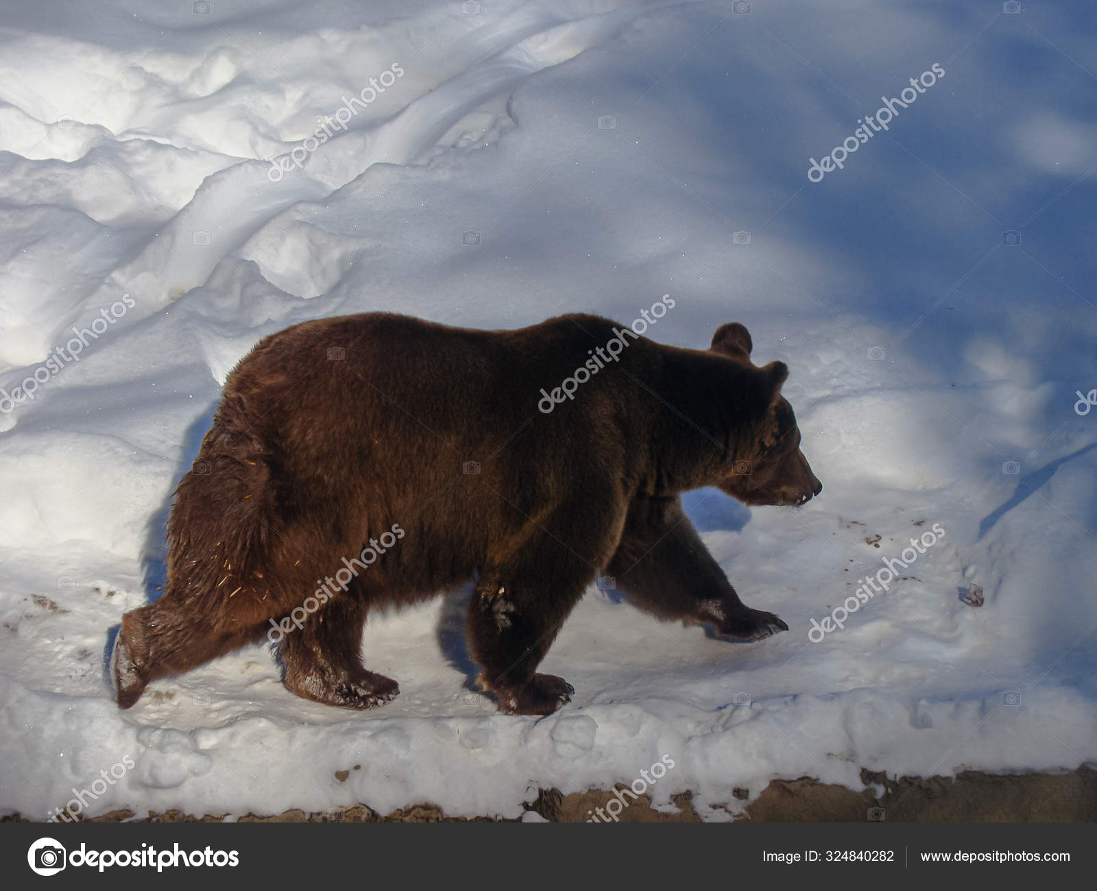 Áˆ Grizzly Bear Stock Images Royalty Free Black Bear Pictures Download On Depositphotos